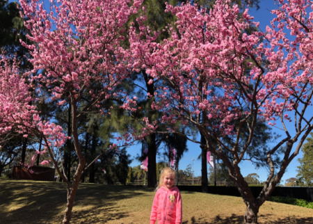 Cherry Blossom season at Auburn Botanic Gardens
