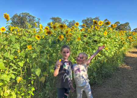 Central Coast Sunflower Harvest time at Wyong Creek